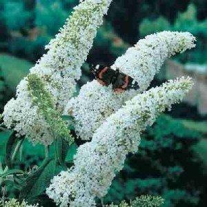 Schmetterlingsflieder Weiß 50 Samen (Buddleia Davidii) Butterfly Bush (Schmetterling Bush-blüte)