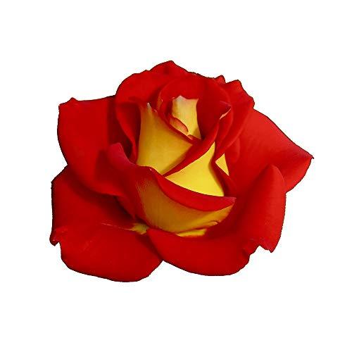 Ketchup & Mustard, rosaio vivo Rose Barni, rosa in vaso rossa e gialla, pianta folta e compatta, habitus rotondo, adatta alla coltivazione in vaso, rifiorente fino autunno inoltrato cod.72056