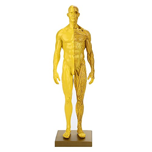 Leaftree - Anthropometrisches Dummy Body Model Anatomical Model Visuelles dauerhaftes männliches Resin Anatomical Muscle