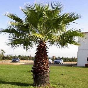 10 Seeds - California Fan Palm Seeds (Washingtonia Filifera)