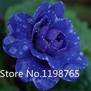 Homely 100pcs parfum parfumé graines d'onagre, graines de fleurs, pot de fleurs de bonsaï pot de bricolage graines jardin