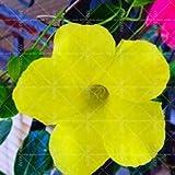 Pinkdose 100pcs arrampicata Mandevilla sanderi Dipladenia sanderi piante bonsai perenne fiore in vaso giardino della casa fai da te: 5