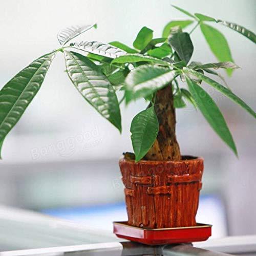 Portal Cool 1Pcs Samen Pachira Macrocarpa Aquatica Bonsai Topf Money Tree Hausgarten - Pachira Aquatica Bonsai