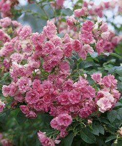 'Pink Grootendorst', Strauchrose in A-Qualität Wurzelware