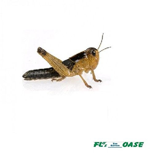 Heuschrecken Wanderheuschrecken mittel 200 Stück Futterinsekten Reptilienfutter Futtertiere -