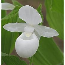 White Garden Orchid ❀ Cypripedium reginae alba ✿ Easy Garden