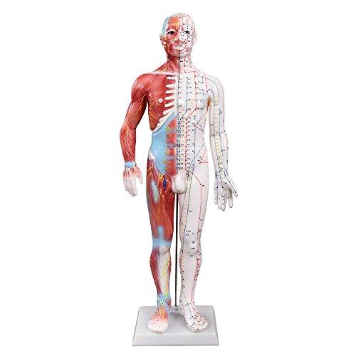 66fit Männliches Akupunktur- und Muskelmodell - 60 cm - Druckpunkte und Meridiane