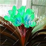Pinkdose Versandkosten 100 Stück Snow White Bonsai Red Banana Tree Köstlicher Frucht in Ihrem Hinterhof Leicht wachsende Topfpflanze Garten Pot: 9