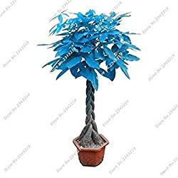 Blau Pachira Seed Money Tree Balkon & Courtyard Bonsai-Baum Pflanzen DIY Hausgarten Haushalts Pachira Aquatica Semillas 3 PC