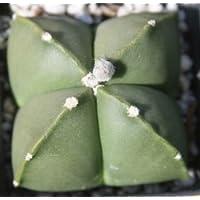 Astrophytum myriostigma nudum seeds