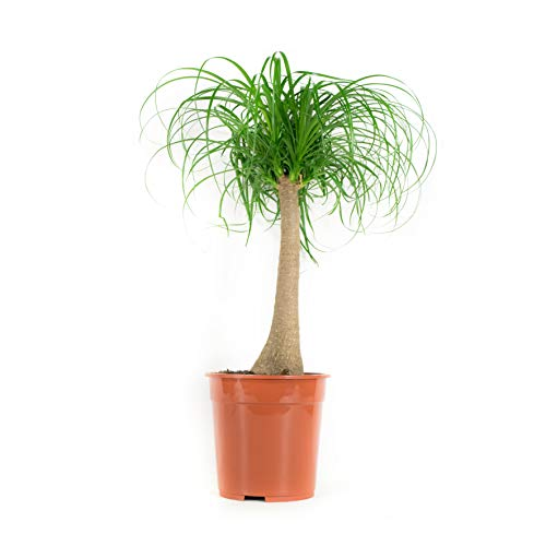 FloraAtHome - Grünpflanze - Beaucarnea - Elefantenfuß - 80cm hoch