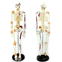 AMITD Anatomy Human Skeleton with Painted Muscles, 85Cm, Skeleton Model Assembly Can Be Used for Medical Teaching Hospital Clinics Are Used