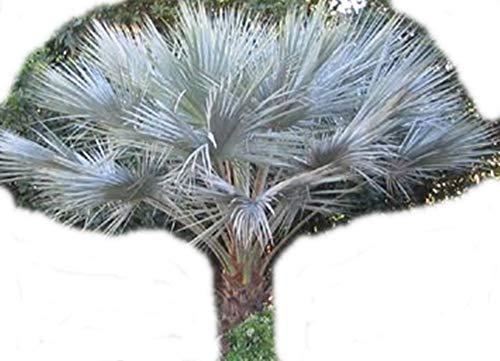 Brahea armata - 50 Samen - blaue Hesperidenpalme