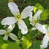 Clematis montana 'Wilsonii' - Winterharte Schlingpflanze