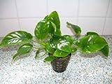 3 Töpfe Anubia Nana barschfeste Pflanzen, Aquarium