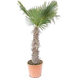220-230 cm Trachycarpus fortunei Hanfpalme, winterharte Palme bis -18°C