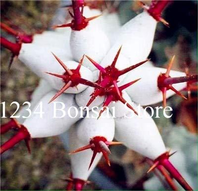 agrobits vendita calda! piante succulente 100 pz euphorbia obesa bonsai, molto rale fiore di cactus pianta in vaso per il giardino piantare, facile da coltivare: 13