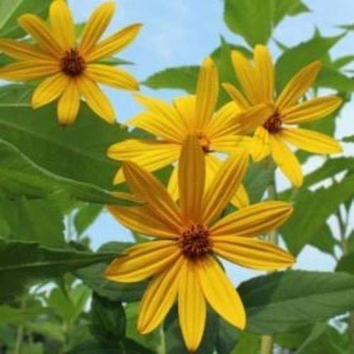 FERRY Bio-Saatgut Nicht nur Pflanzen: 10 Tubers: Jerusem Artischocke - Early Sunray Variety - Bio sunchoke Sunseed Easy by
