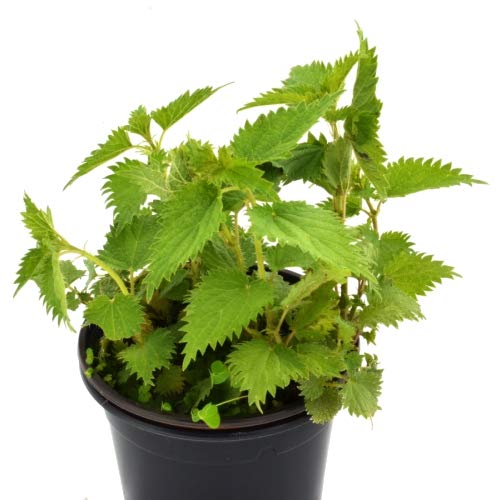Ortiga Planta Natural