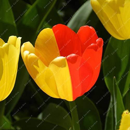 Shopmeeko GRAINES: 2 pièces National Fleur Tulipe de vivaces Jardin Plantes nombreuses variétés Bonsai colorés cadeaux de haute spécification Fleurs: 2TulipsColorful