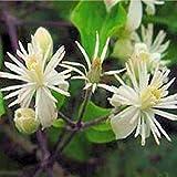 PLAT firm-semi bianchi Clematis vitalba Evergreen completamente Hardy 20 Semi
