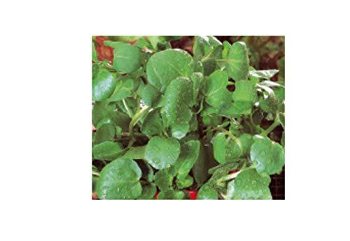 3200x Brunnenkresse (Nasturtium officinale) - Kresse Samen Kräuter K69