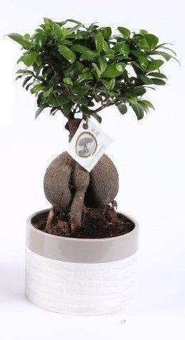 Ficus Bonsai, (Ficus