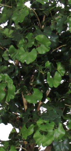 Ginko Grün–Baum-Möbel Innenraum mit echten Baumstämme–Hoch 150cm