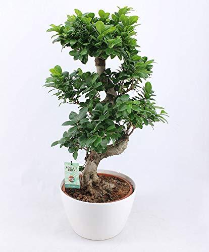 "Bonsai Ficus\""Ginseng\"" Höhe 80-85 cm im weißen Keramik-Topf Ø ca. 27 cm"