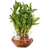 Leafytales 2 Layer Lucky Bamboo With Fish Bowl With 7 Color Jelly Ball/Crystal Free