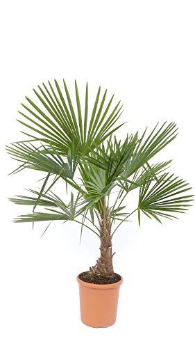 L Trachycarpus fortunei 110-130 cm, Hanfpalme, winterharte Palme bis -18°C + Bonsai Zitrone