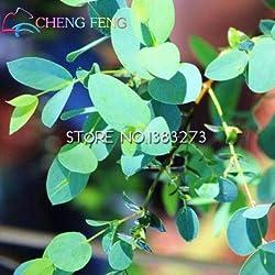 Shopmeeko 20 teile/beutel Seltene Regenbogen Eukalyptus bonsai Auffällige Tropischer Baum Für Garten Pflanzen uhr Baum bonsai topfhof pflanze bonsa: Armee Grün