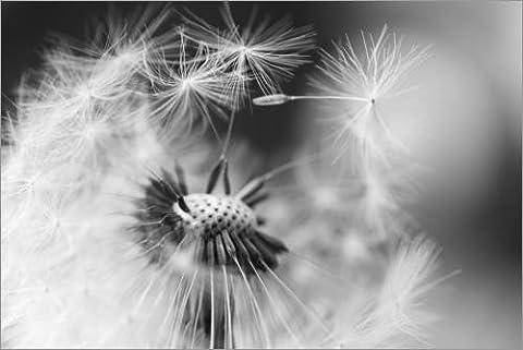 Forex-Platte 60 x 40 cm: Pusteblume verliert Schirmchen schwarzweiß von