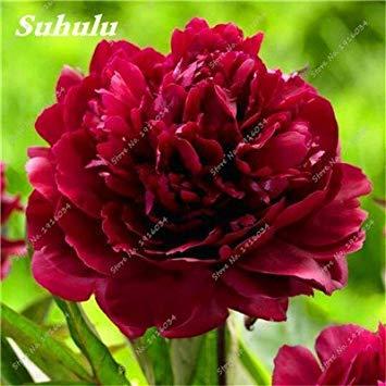 100 pièces / sac Couleur Rare Rose Graines Outdoor Bonsai Graines de fleurs vivaces Fleurs Graines Plante en pot pour jardin Décor 14