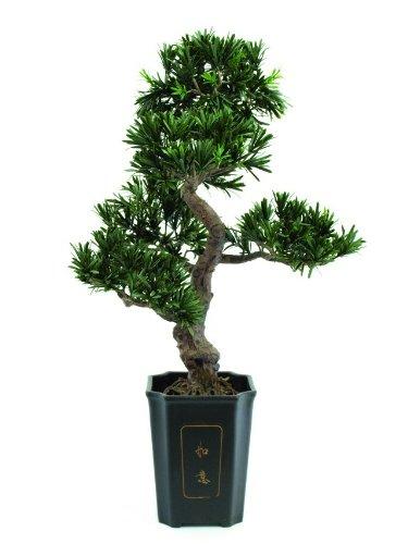Bonsai Podocarpus, 80cm