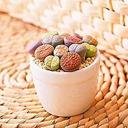 2pcs/bolsa de Lithops bombillas (sin semillas) flor culo Planta carnosa raro estar Flor de piedra Bonsai mini jardín y el hogar del ornamento en maceta 3