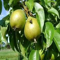 Pyrus communis 'Avezaath Kapel' Half tree trunk