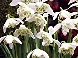 Cottage Garden Bulbs Lot de 50 bulbes de perce-neiges à fleur double