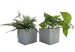 Dominik Blumen Und Pflanzen, Pflanzen Rankpflanzen Duo Mit Scheurich Würfeltopf Grau-stone, Mehrfarbig