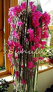 200pcs fiori in vaso epiphyllum seme semi balcone bonsai per garden & home four seasons semina facile da coltivare 6 di farmerly