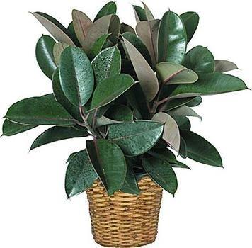 Ficus Elastica Gummibaum 8 Samen