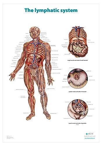 Altay Scientific, Das Lymphsystem. Anatomische Wandtafel/Poster in englischer Sprache. (70x100cm) -