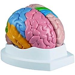 Modelo del cerebro en 5 partes