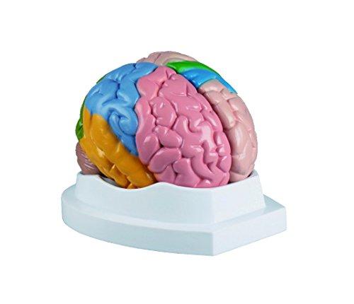 Modell - Menschliches Gehirn -