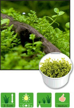 Monte-carlo-becher (Zoomeister - Invitro Aquariumpflanze im Becher - Micranthemum 'Monte Carlo')