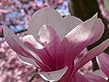 Pinkdose® Magnolia Soulangiana - Untertasse Magnolie - seltene exotische tropische Baum Samen (5)