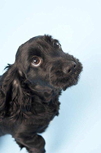Kunstdruck/Poster: Ingram Vitantonio Cicorella Black Spaniel Puppy In Studio - hochwertiger Druck, Bild, Kunstposter, 50x75 cm -