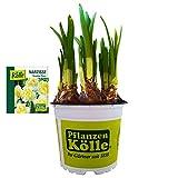 Narzisse Osterglocke 'Double Pam' gelb-weiß, vorgetrieben im 12 cm Topf - Zwiebelpflanze aus eigener Gärtnerei von Pflanzen-Kölle - Narcissus 'Double Pam' - schöne Osterdeko im Frühling