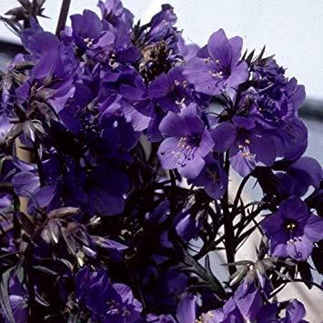 Keim Seeds: Bonsai Samen Lila Regen Polemonium Jakobsleiter Blume/Schatten Liebend