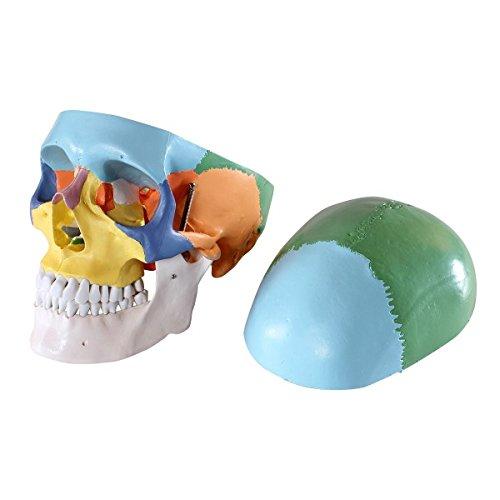 Zoom IMG-1 s24 2134 cranio modello didattico